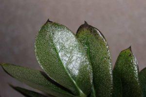 Посеребреный лист замиокулькаса