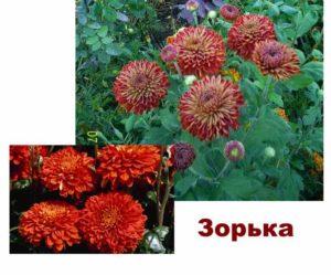 Сорта хризантемы: зорька