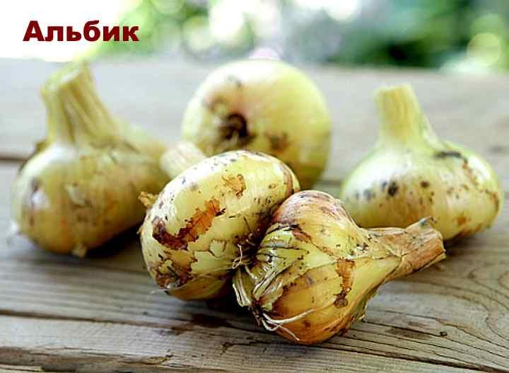 Сорт лука-шалот - Альбик