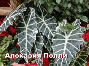 Растение Алоказия Полли