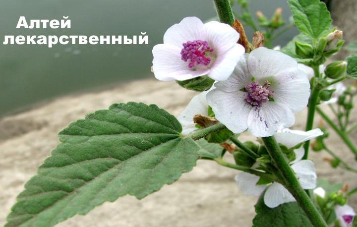 Луговой цветок - Алтей лекарственный
