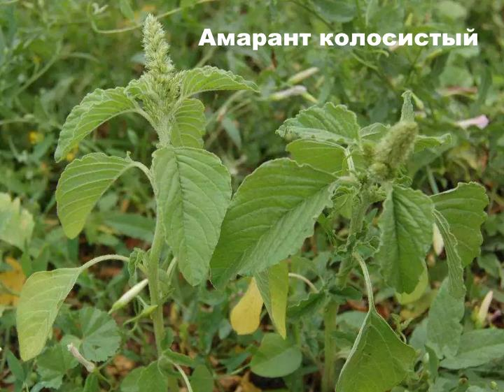 Луговой цветок - Амарант колосистый