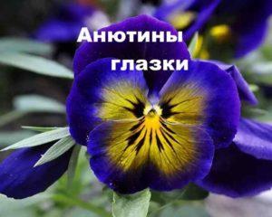 Растение Анютины глазки