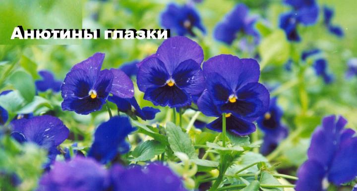 Луговой цветок - Анютины глазки
