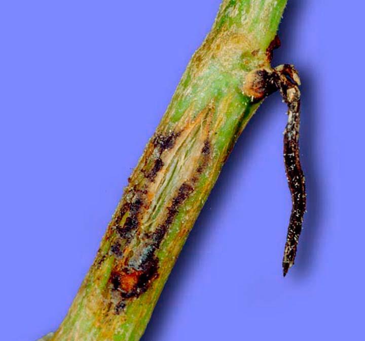 Аскохитоз стебля огурца