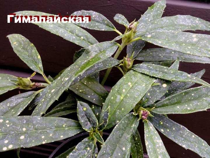 Вид растения - Аукуба гималайская