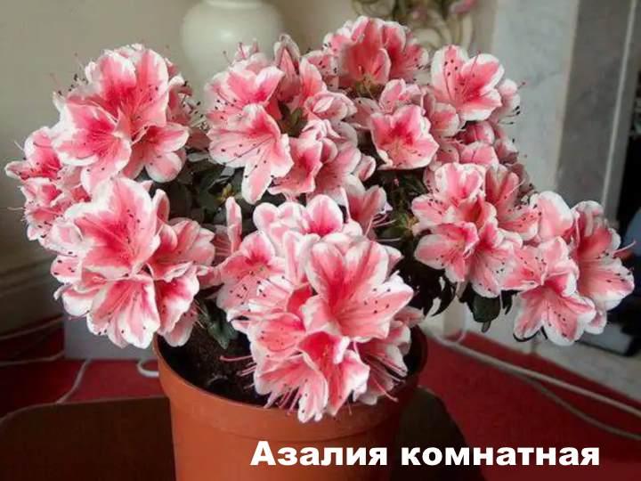 Вид растения - Азалия комнатная