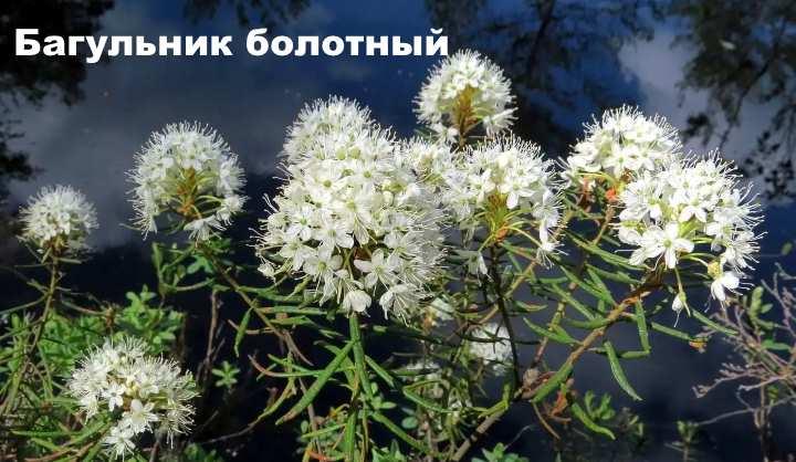 Вид растения - Багульник болотный