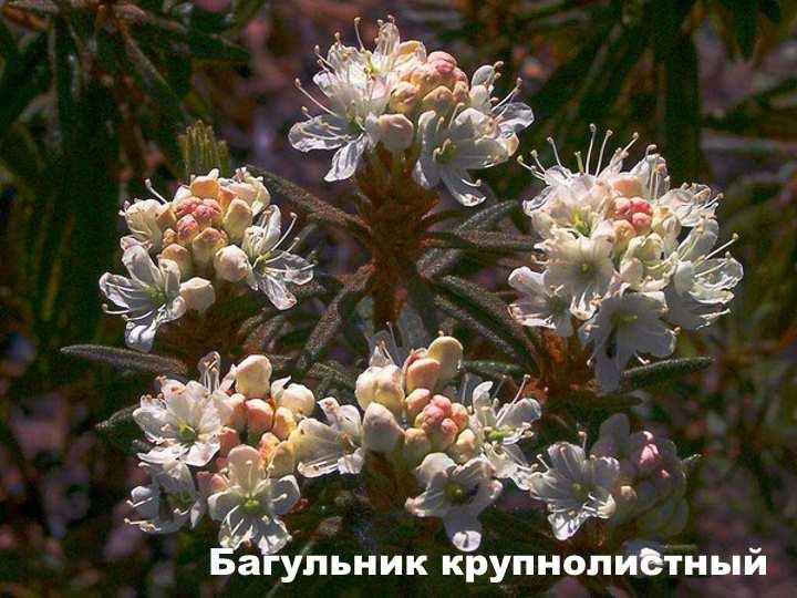 Вид растения - Багульник крупнолистный