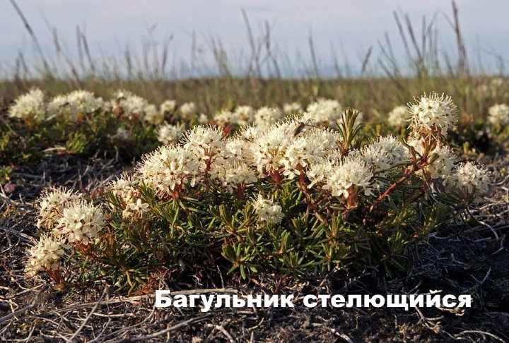Вид растения - Багульник стелющийся