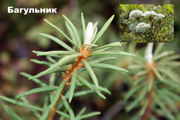 Луговой цветок - Багульник