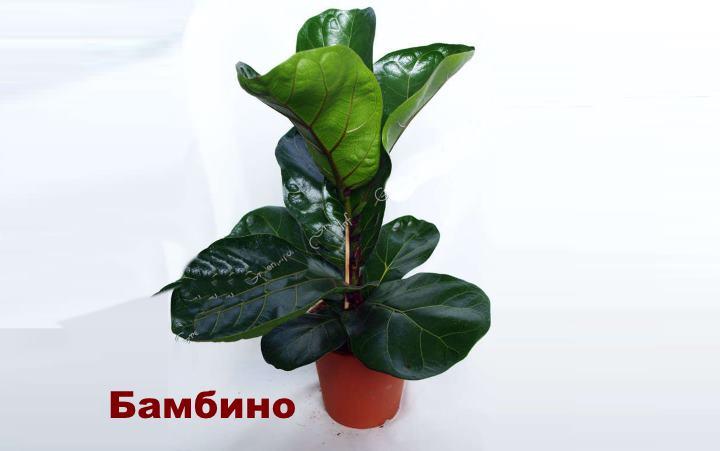 Вид растения - Бамбино Фикуса лирата