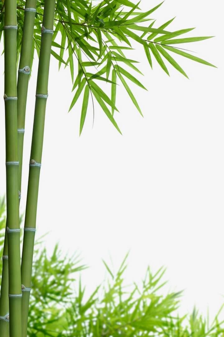 Внешний вид бамбука