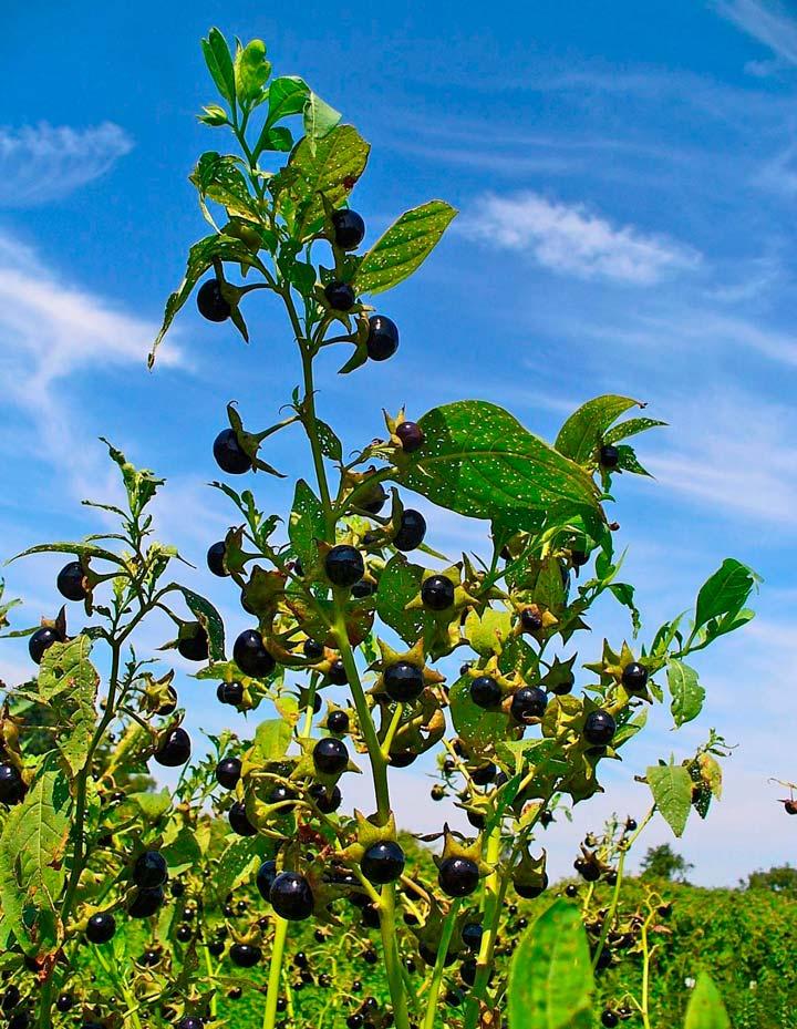 Ядовитое растение Беладонна