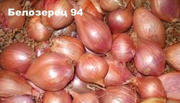 Сорт лука-шалот - Белозерец 94