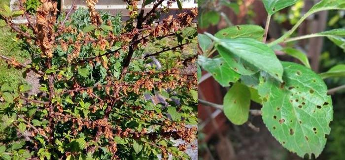 Монолиоз и клястероспориоз вишни