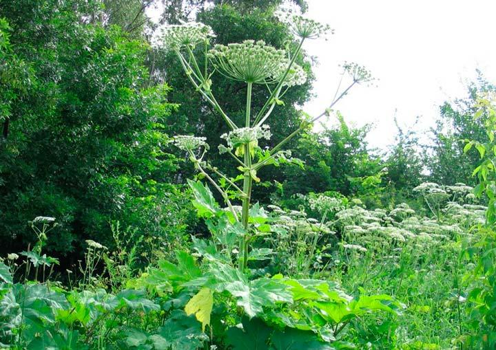 Ядовитые растения на участке