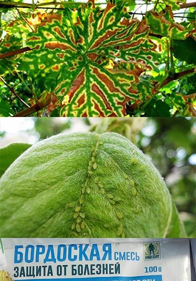 Темные пятна и паразиты на листьях и бордоская смесь