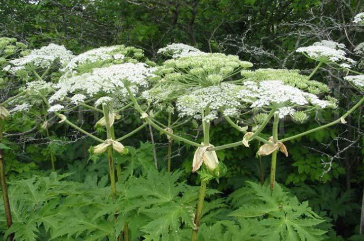 Ядовитое растение Борщевик