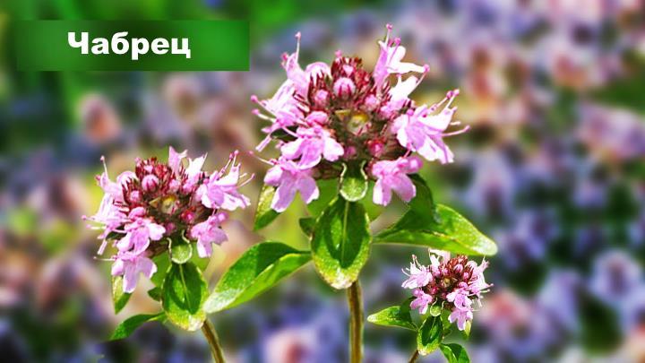 Луговой цветок - Чабрец