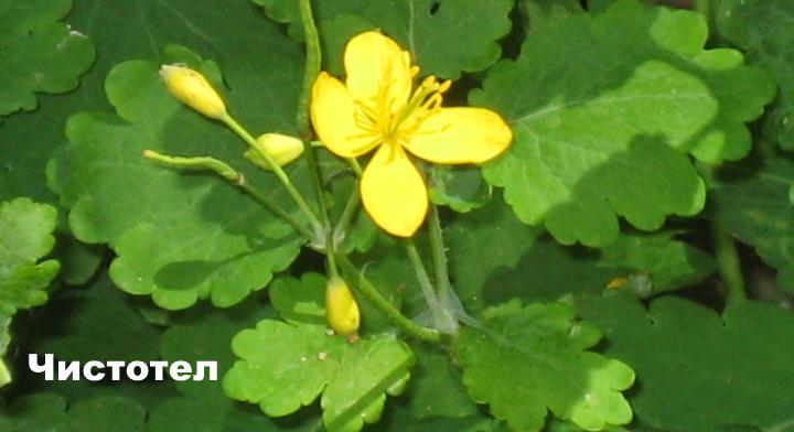 Луговой цветок - Чистотел