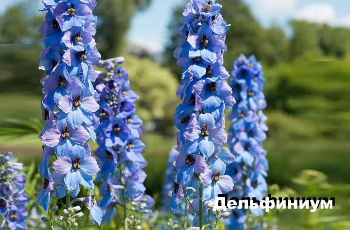 Луговой цветок - Дельфиниум