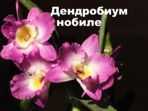Орхидея вида Дендробиум Нобиле