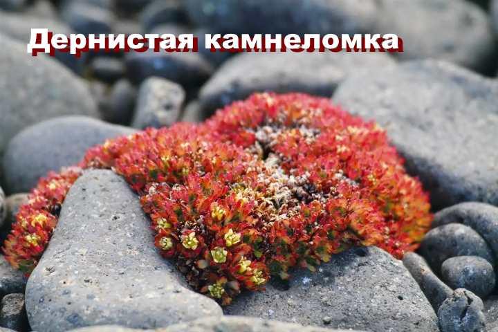 Вид растения - Дернистая камнеломка