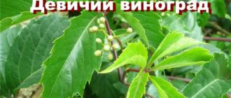 Растение Девичий виноград
