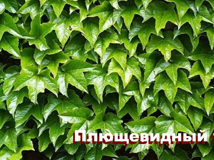 Вид растения - Девичий виноград плющевидный триостренный