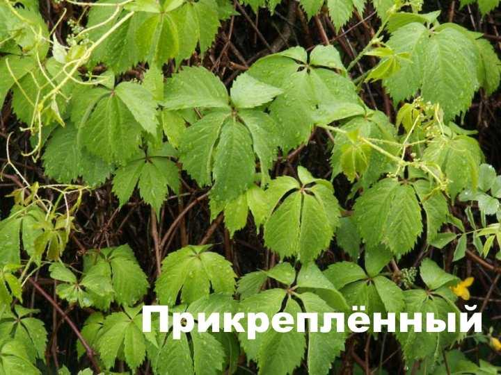 Вид растения - Девичий виноград прикреплённый