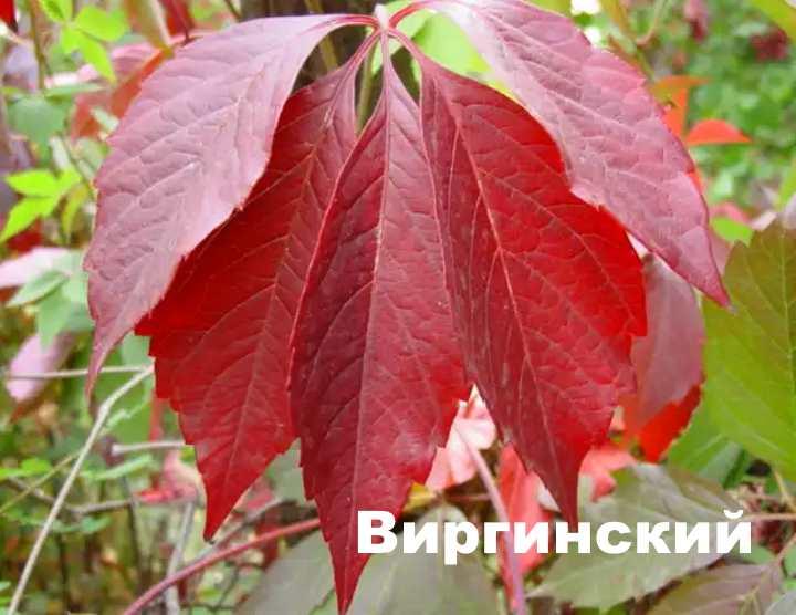 Вид растения - Девичий виноград виргинский