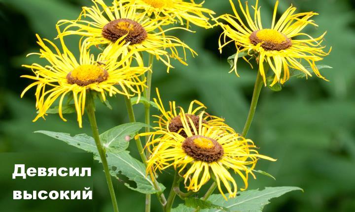 Луговой цветок - Девясил высокий