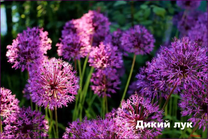 Луговой цветок - Дикий лук