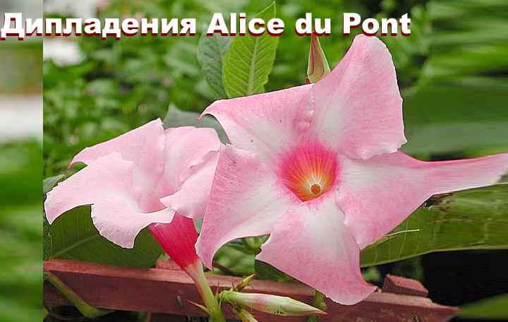 Вид растения - ДипладенияAlice du Pont
