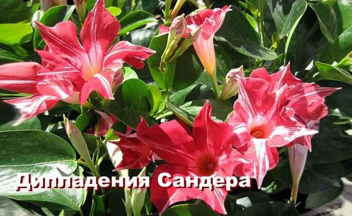 Вид растения - ДипладенияСандера