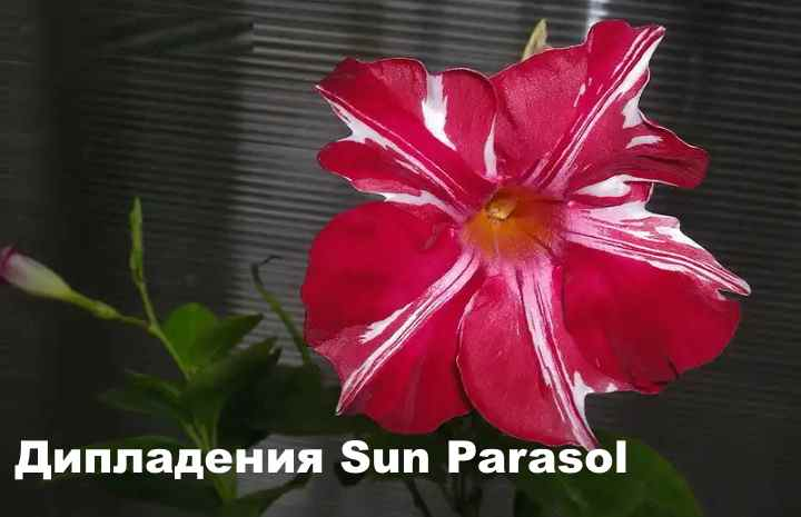 Вид растения - ДипладенияSun Parasol