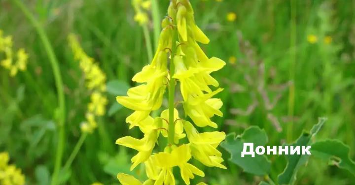 Луговой цветок - Донник