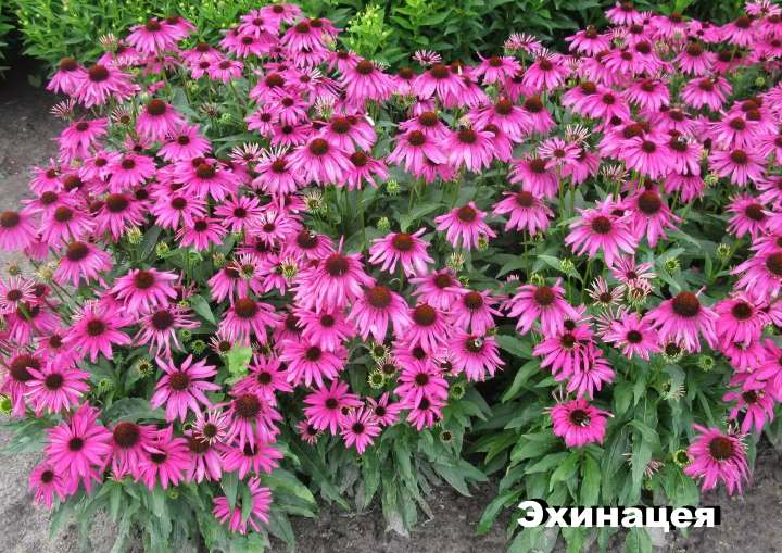Луговой цветок - Эхинацея