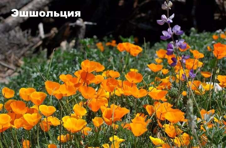 Луговой цветок - Эшшольция