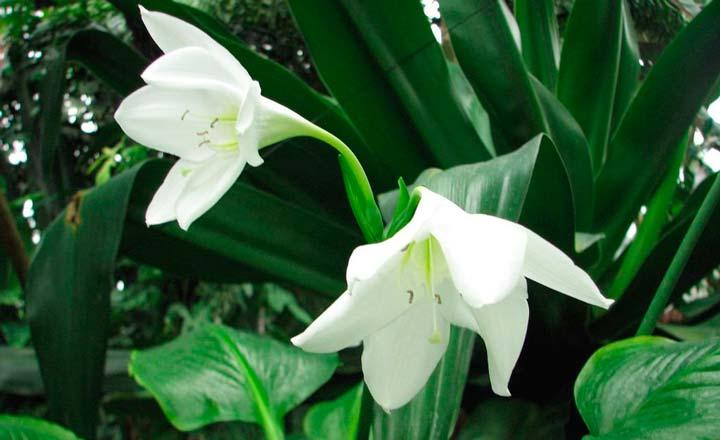 Цветок Эухарис Сандера