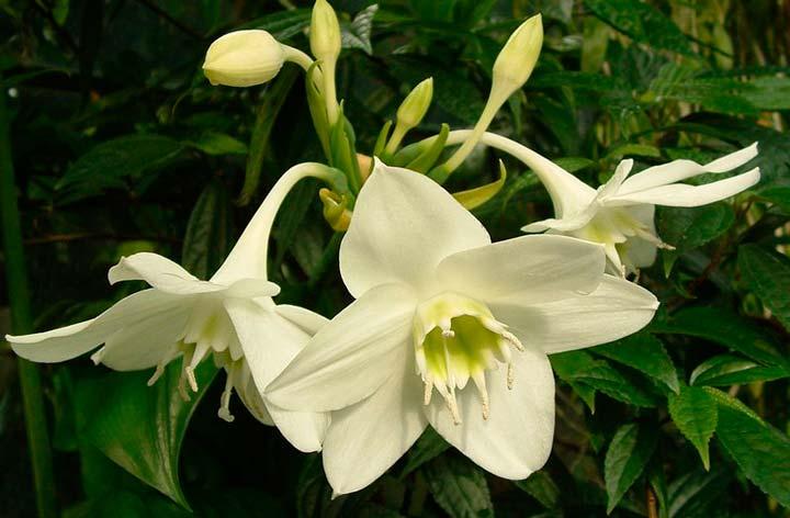 Цветок Эухарис белый