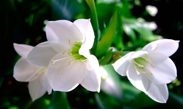 Эухарис крупноцветковой (амазонский или градифлора)