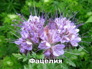 Растение фацелия