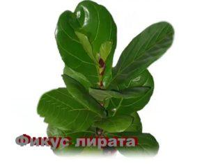 Растение Фикус лирата
