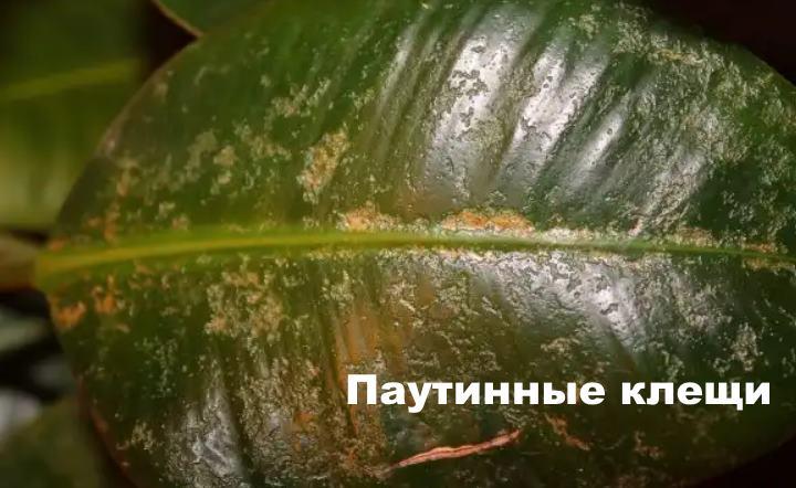 Паутинный клещ у фикуса лирата