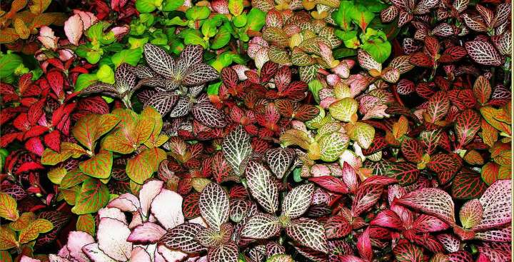 Разные цвета листьев фиттонии
