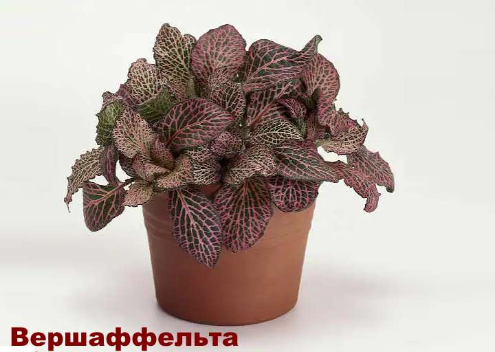 Вид растения - Фиттония Вершаффельта