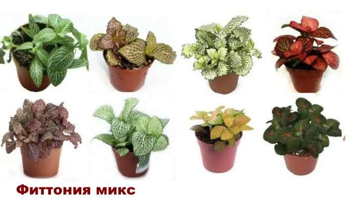 Вид растения - Фиттония микс