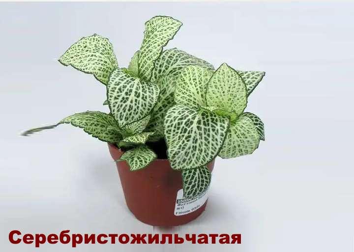 Вид растения - Фиттония серебристожильчатая